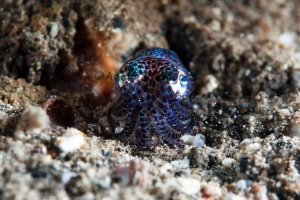 Bobtail Squid_DSC0579
