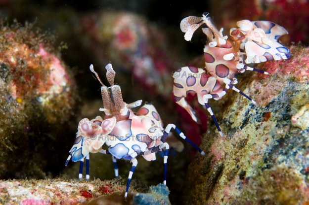 Harlequin Shrimp_002_DSC0526