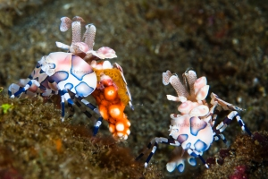 Harlequin Shrimp_004_DSC0476