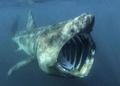 Basking-Shark