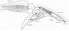 Dolphin FG2