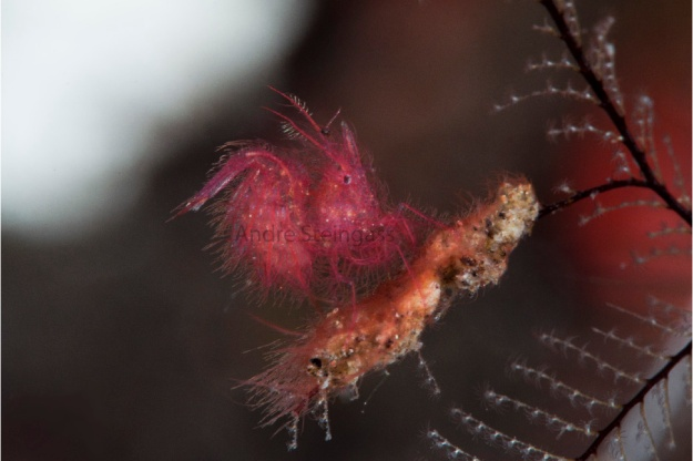 Hairy Shrimp_DSC5820