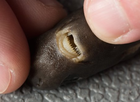heres-an-up-close-shot-of-the-pocket-sharks-teeth-since-this-pocket-shark-is-so-rare-the-scientists-are-wary-of-damaging-it-and-probably-wont-dissect-it-until-theyve-found-many-more-specimens