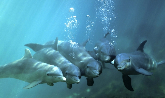 Manada Dolphin