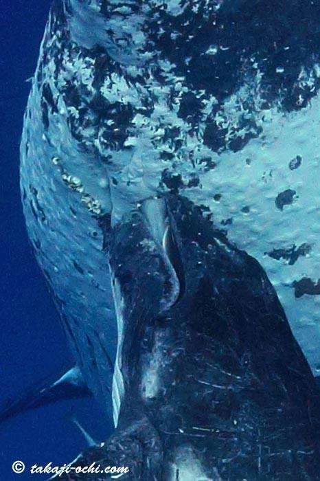 Humpback Whale 02