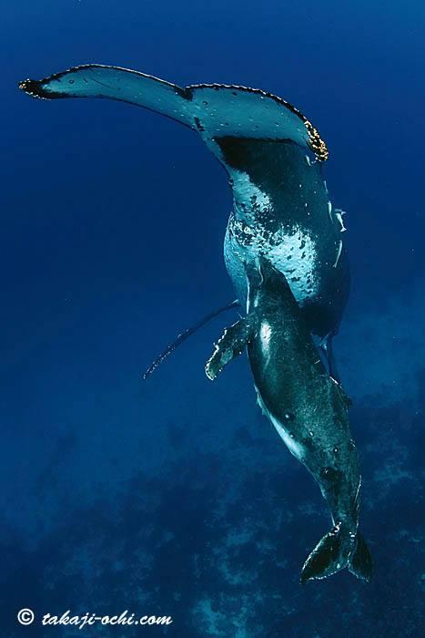 Humpback Whale01
