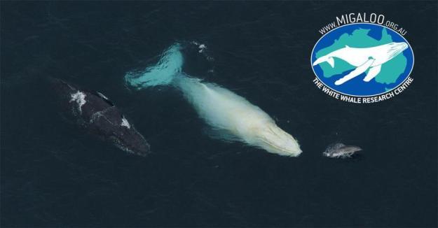 White whale mate