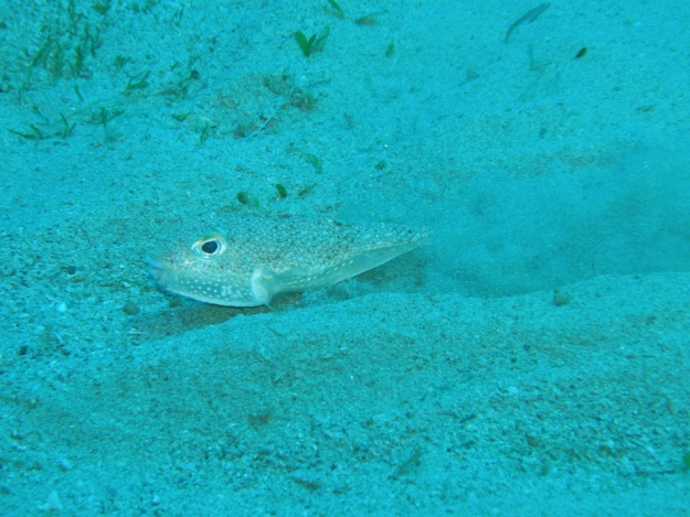 Male pufferfish digging