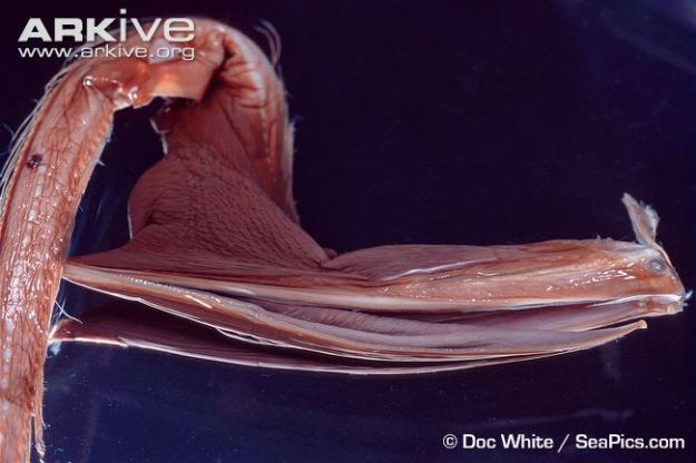 Preserved-gulper-eel-specimen-