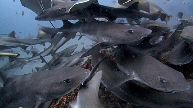 Shark ecotourism in Japan02.jpg