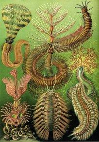 Ernst Haeckel 08