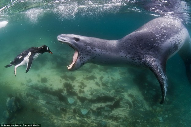 leopard seal eat penguin 01 .jpg
