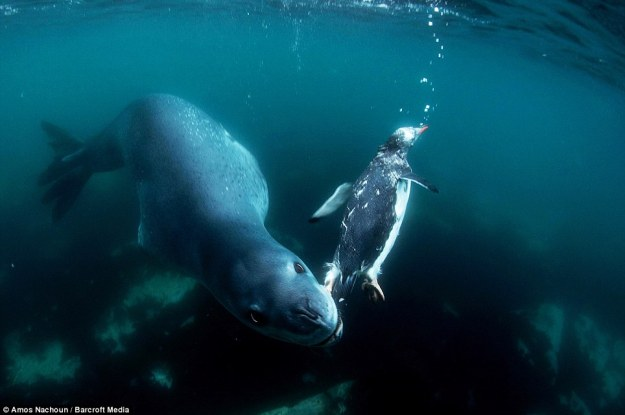 leopard seal eat penguin 02.jpg