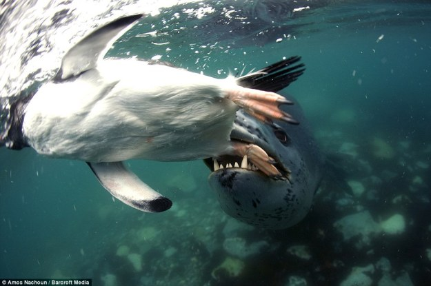 leopard seal eat penguin  03.jpg
