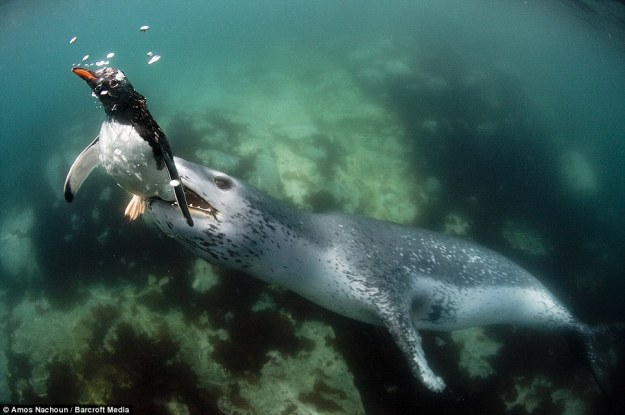 leopard seal eat penguin 04.jpg