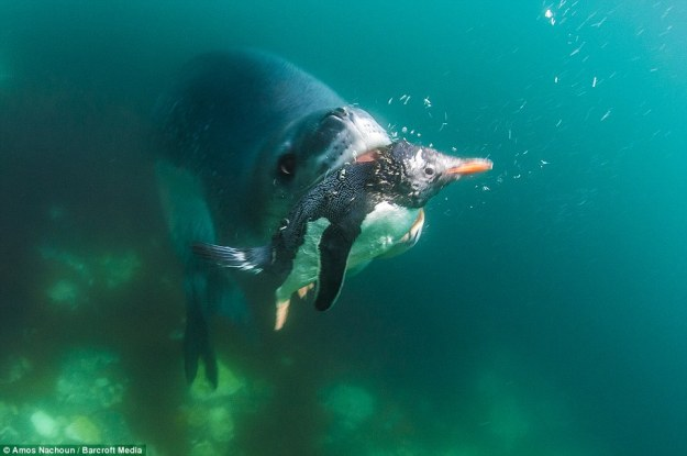 leopard seal eat penguin 05.jpg