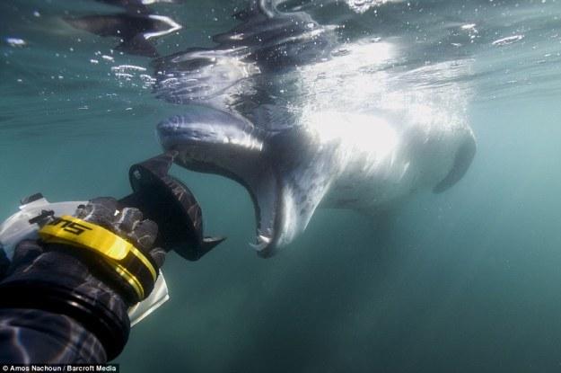 leopard seal eat penguin  07.jpg