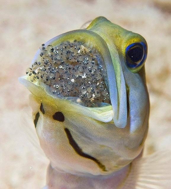 Jaw's fish