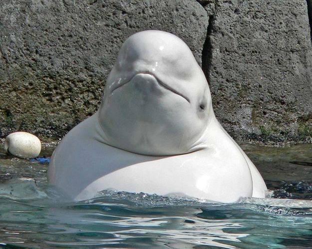 วาฬเบลูกา